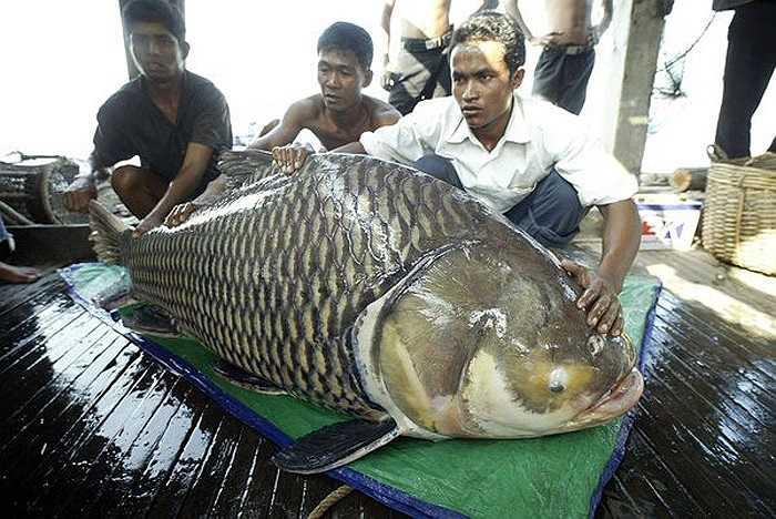 Ở Thái Lan, chúng còn được tìm thấy trong các hồ lớn hai bên sông. Cá chép Xiêm nhỏ có mặt trong các kênh nhỏ, vùng rừng ngập nước, đầm lầy.