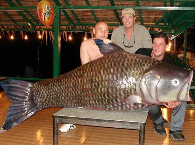 Mặc dù vậy, nhiều năm nay, không thấy có thông tin về việc bắt được chép Xiêm lớn ở Campuchia. Con chép Xiêm lớn nhất được ghi chép cẩn thận, là vào nằm 1994, câu được tại Campuchia, trọng lượng 150kg.