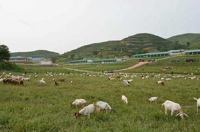 Bên trong trang trại chăn nuôi sô 621 của quân đội Triều Tiên