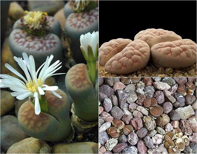 Người ta gọi loài hoa này là Thạch Lan vì khi hoa chưa nở, chúng trông giống những viên sỏi, đá ẩn mình vào môi trường xung quanh. Lá có màu kem, xám, nâu, hoặc được tô điểm thêm chấm đỏ li ti và thậm chí có hình dáng như bộ não rất lạ mắt.
