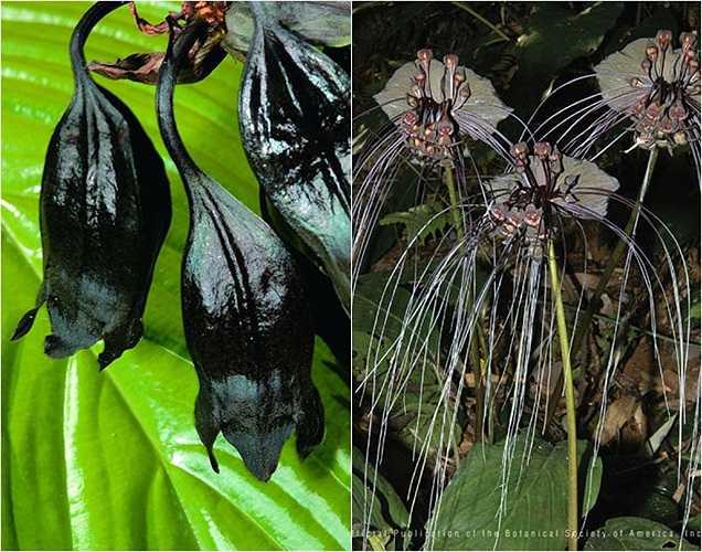 Sở hữu đôi cánh rộng màu đen, 'hàm răng' lớn như những con dơi đáng sợ nhưng loài hoa Tacca Chantrieri lại được nhiều người ưa chuộng. Những cây trưởng thành có chiều cao khoảng 70 cm với những bông hoa tua tủa xúc tu dài tới 30 cm.