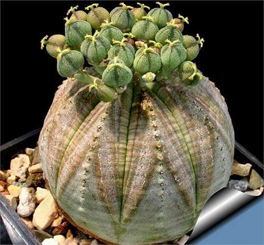 Cây quả bóng (Euphorbia Obesa) có nhiều ở Nam Phi. Do có hình dáng đẹp mắt, cây quả bóng được rất nhiều người yêu cây cảnh săn lùng.