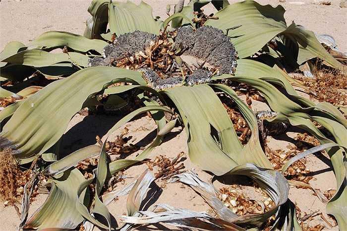 Welwitschia Mirabilis của hoang mạc Namibia bị xếp vào nhóm 10 loài thực vật xấu xí nhất thế giới. Nhưng cây có thể sống được từ 1.000 năm đến 2.000 năm tuổi và tồn tại dù trời không mưa trong suốt 5 năm.