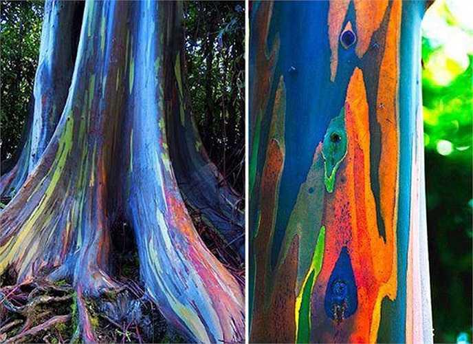 """Deglupta (cây bạch đàn cầu vồng) ở đảo Hawaii, Mỹ là loài cây thân gỗ """"đỏm dáng"""" nhất trong giới thực vật. Do thay vỏ quanh năm, thân cây có những sắc màu rực rỡ như xanh lá mạ, xám, đỏ, vàng cam, tím đan xen, hòa quyện với nhau tạo thành một tác phẩm hội họa trừu tượng."""