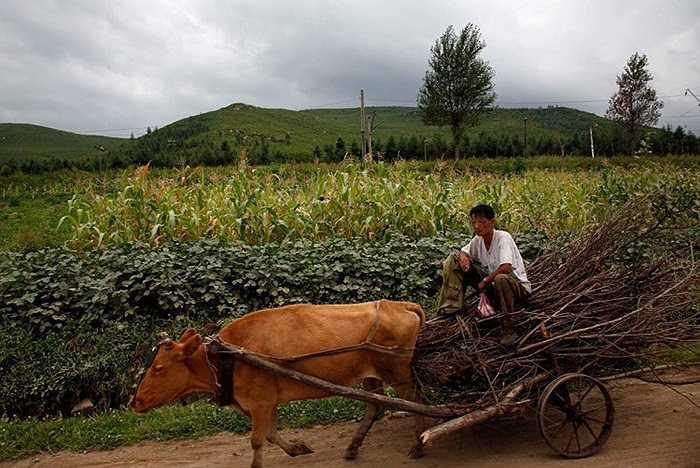Cảnh người đàn ông ngồi xe bò ở vùng nông thôn Triều Tiên