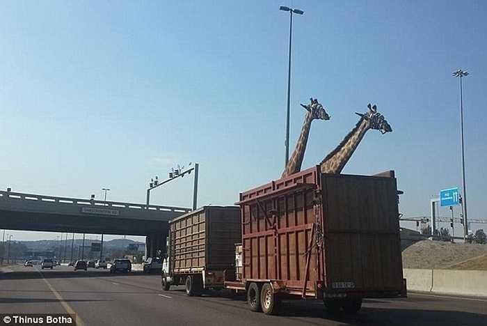 Mới đây, một tai nạn hy hữu xảy ra tại Nam Phi khi một chú hươu cao cổ thiệt mạng vì đập đầu vào dầm cầu vượt khi đang được chở bằng xe kéo trên đường cao tốc. Một kỹ sư tình cờ ghi lại khoảnh khắc vài giây va chạm xảy ra.