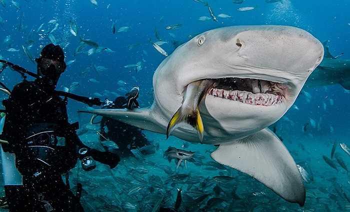 Nhiếp ảnh gia động vật hoang dã John Chapa liều mình cho cá mập ăn bằng tay, không cần bất cứ dụng cụ hỗ trợ nào.