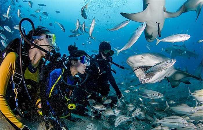 Các thợ lặn cùng tham gia vào quá trình cho cá mập ăn