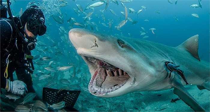 Cá mập há miệng đớp mồi