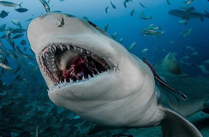 Miếng mồi nằm gọn trong hàm cá mập