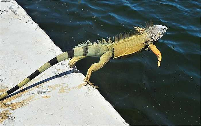 Con kỳ đà lao mình xuống hồ nước ở Key West, Florida