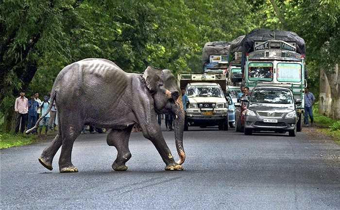 Một con voi hoang dã băng qua đường cao tốc tìm kiếm khu đất khô sau khi lũ lụt tràn vào Công viên quốc gia Kaziranga ở Assam, Ấn Độ
