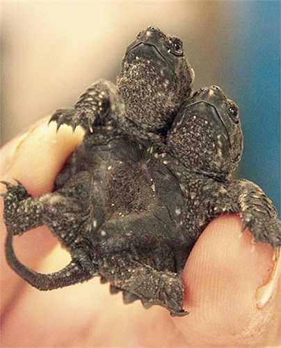 Rùa con 2 đầu cực hiếm tại một trang trại ở Amagon, Mỹ