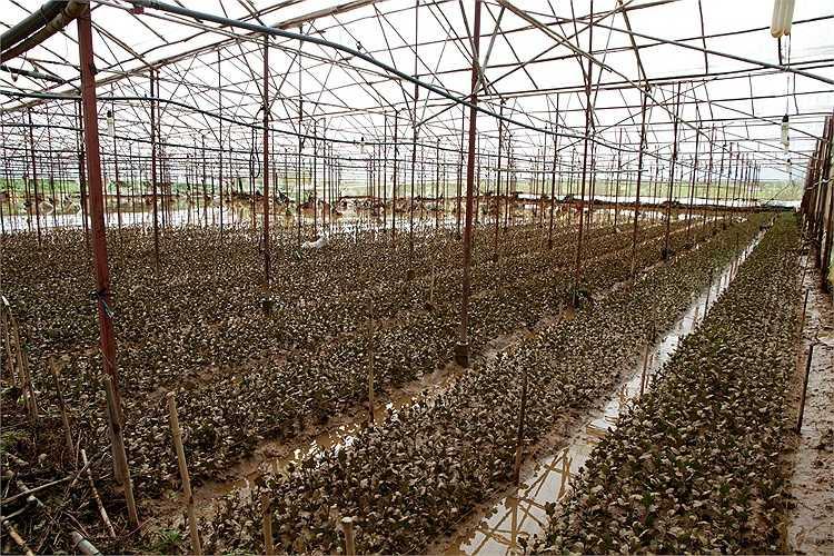 Hoa cúc vừa xuống giống ở tổ 19 bị nước lũ làm hư hại hoàn toàn. (Ảnh:NLĐ)