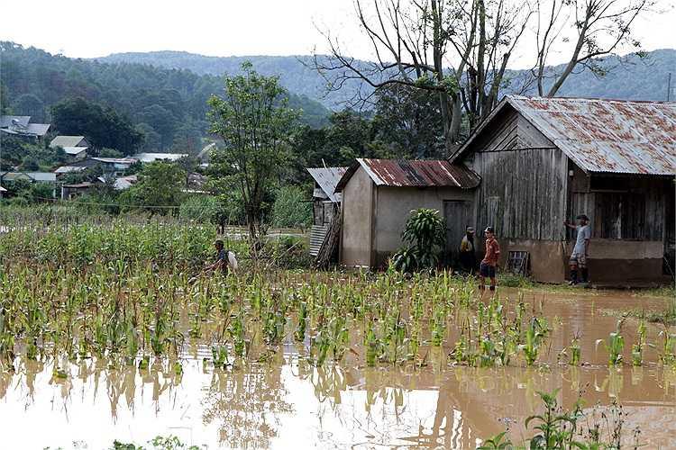 Bắp đang chờ thu hoạch cũng bị nước lũ nhấn chìm.(Ảnh:NLĐ)