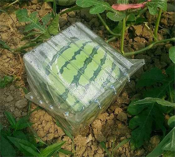 Dưa hấu hình vuông cũng là một trong những loại quả khác thường được người tiêu dùng nước này ưa chuộng.