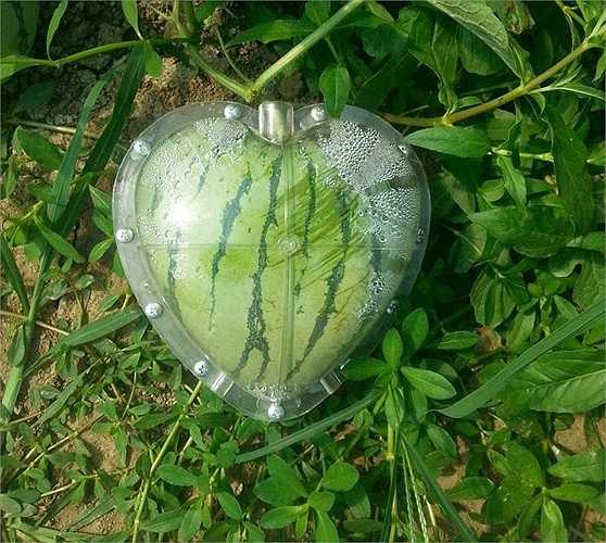 Còn đây là một trái dưa bên trong khuôn nhựa tạo dáng hình trái tim.