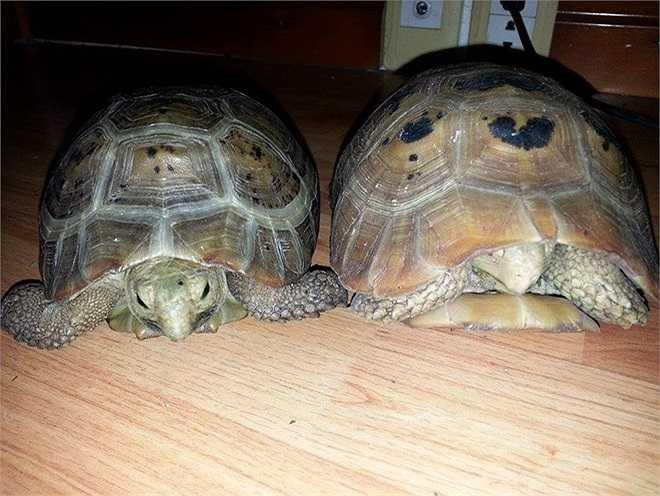 2 con rùa Núi Vàng nằm trên góc học tập của Nhật Minh.