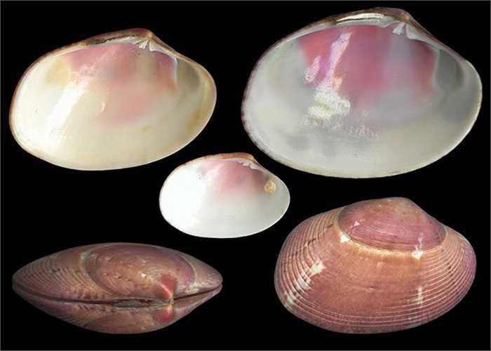 Loài nhuyễn thể này phân tính đực, cái riêng biệt. Trong noãn của cá thể nghêu cái trung bình có hơn 5, 4 triệu trứng, thậm chí tối đa có đến 8,5 triệu trứng.