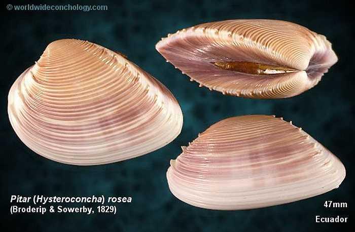 Sau khi đẻ trứng vào môi trường nước, ấu trùng nghêu sống trôi nổi khoảng một tháng, sau đó chìm xuống đáy nước khi thành con non có vỏ. Con non sẽ rúc xuống lớp bùn cát khoảng 1cm.