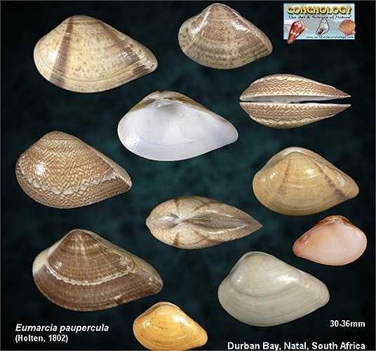 Chúng duy trì sự sống và phát triển bằng cách lọc các chất từ bùn, sinh vật phù du và tảo xung quanh chúng.