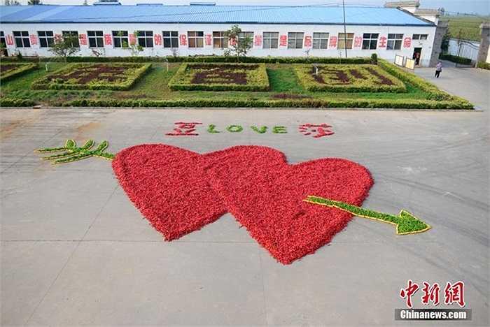Hôm 28/8, một chàng trai tên Đậu Tử Vượng dùng gần 1 triệu quả ớt xếp thành  hình trái tim rồi cầu hôn bạn gái