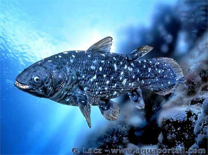 Năm 1938, một mẫu vật tìm thấy tại Nam Phi đã chứng minh cá vây tay cổ không hề tuyệt chủng trong kỷ Phấn trắng cùng với khủng long. Thậm chí con cá vây tay bằng da bằng thịt này có thể thở. Mới đây, người ta cũng tìm thấy cá vây tay tại Indonexia vào năm 1999.