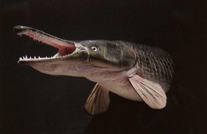 Đây là loài cá cổ nhất còn sống tới ngày nay ở vùng Nam nước Mỹ, phía Bắc và Đông Mexico và được cho rằng tồn tại từ kỷ Phấn trắng. Cá sấu mõm dài có thể phát triển dài 4 mét và nặng 200kg. Chúng có cái mõm rất dài với hàm răng cực kì sắc nhọn, rất giỏi phục kích con mồi và đã từng cắn người.