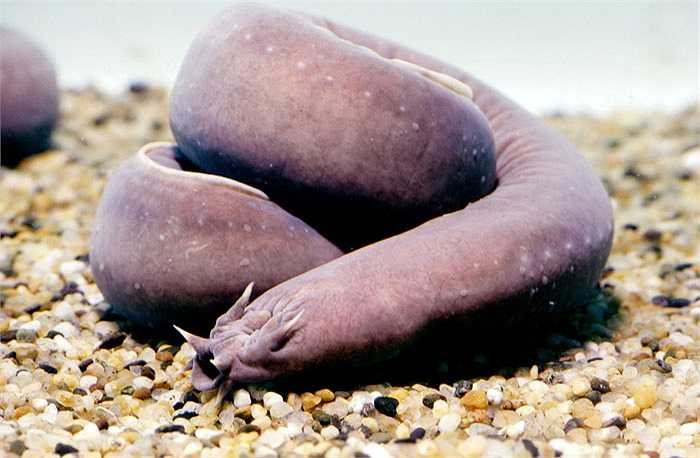 Cá mút đá Myxini đã tồn tại hơn 300 triệu năm sống ở vùng biển tương đối sâu. Chúng là loài động vật rất kỳ lạ, có một hộp sọ, 2 não và có nhiều cột sống. Loài cá này sản xuất chất nhầy để phá hủy mang của các loài cá săn mồi khác nên hầu như chúng không có kẻ thù tự nhiên.