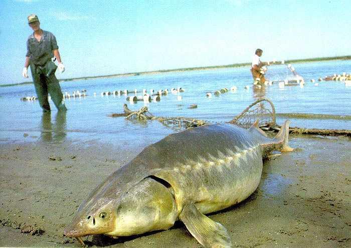 Cá tầm cũng sống từ khoảng đầu kỷ Jura. Con cá tầm lớn nhất có thể dài tới 6 mét, to lớn như cá mập trắng lớn. Cá tầm ăn các loại động vật nhỏ dưới đáy biển, đặc biệt chúng lại không gây nguy hiểm trừ khi bị khiêu khích.