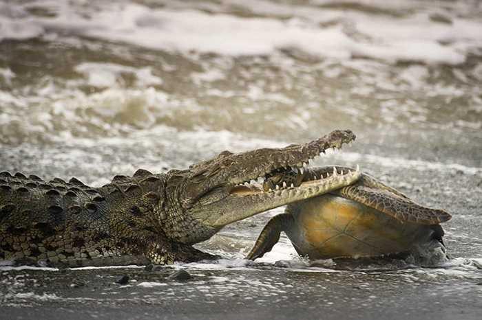 Con rùa liều lĩnh mon men tới mép nước đã bị cá sấu đớp gọn vào đầu, hàm răng sắc nhọn cắm ngập cổ ở một bán đảo của Costa Rica