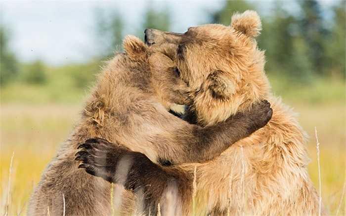 Gấu mẹ chơi đùa với gấu con ở Hồ Clark, Alaska