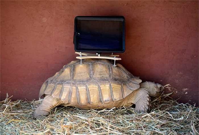 Chú rùa được gắn iPad trên lưng ở ở Aspen, Colorado, Mỹ