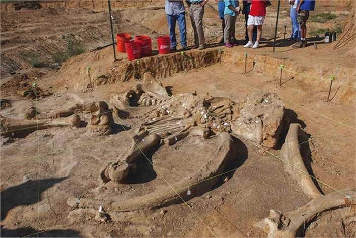 Một bộ xương gần như hoàn chỉnh của voi ma mút đã chết 20.000 - 40.000 năm trước đây được khai quật gần Dallas, Texas