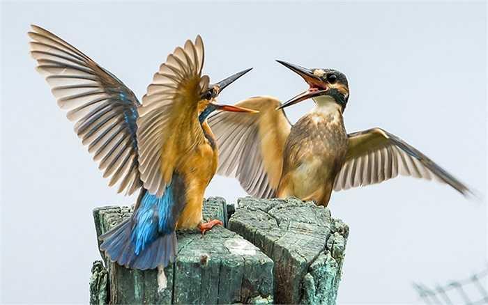 Hai con chim bói cá tranh giành chỗ đậu gần hồ Dal ở Srinagar, Ấn Độ