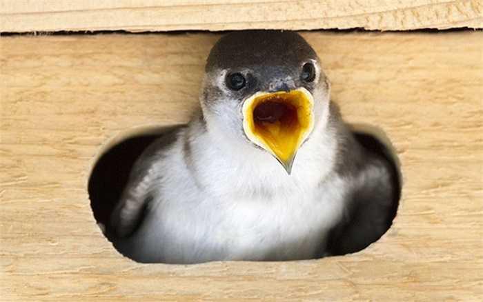 Chim én nhỏ thò cổ ra khỏi ổ đòi ăn ở Spokane, Washington