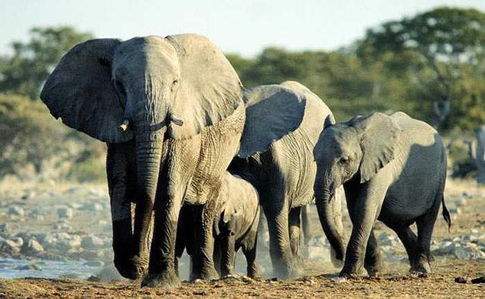 Loài động vật to lớn nhất trên mặt đất có tuổi thọ trung bình 70 năm. Những con voi châu Phi vẫn có thể sinh sản cho tới cuối đời.