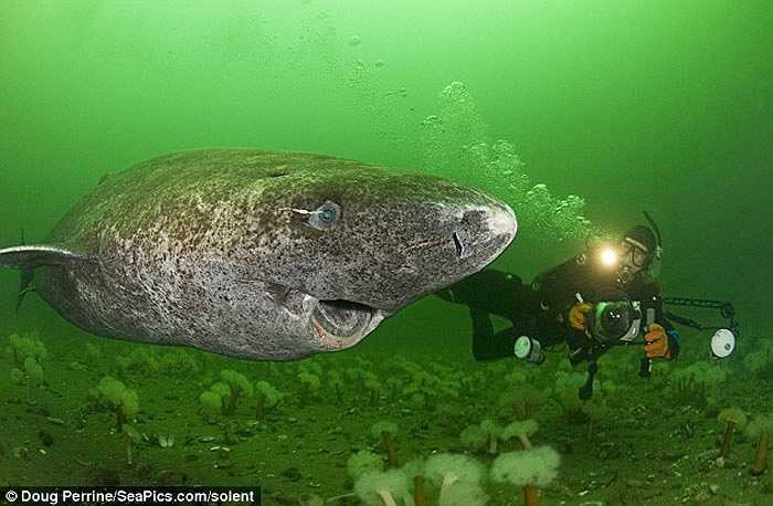 Cá mập Greenland sống ở vùng biển lạnh hơn bất cứ đồng loại nào của chúng có thể sống đến 200 năm. Đây cũng là ứng viên giữ kỷ lục là 'Sát thủ biển cả' sống lâu nhất.