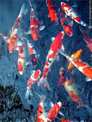Cá chép Koi được nuôi làm cảnh thường sống từ 25-30 năm. Một số con có thể sống hơn 200 năm. Con cá Koi già nhất được biết đến là Hanako, chết lúc 226 tuổi vào năm 1977.