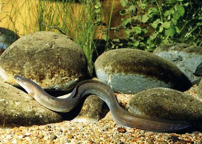 Lươn vây dài có nguồn gốc New Zealand và Úc, bình thường chỉ sống đến 60 tuổi nhưng cá thể lươn vây dài thọ nhất được biết là 106 năm. Chúng phát triển rất chậm, chỉ từ 1-2 cm mỗi năm.