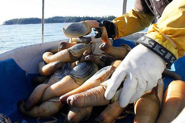 Trai vòi voi là loài trai nước mặn có nguồn gốc từ Puget Sound và được cho là sống ít nhất 160 năm. Chúng có chiếc vòi rất dài, có thể phát triển tới 1 m.