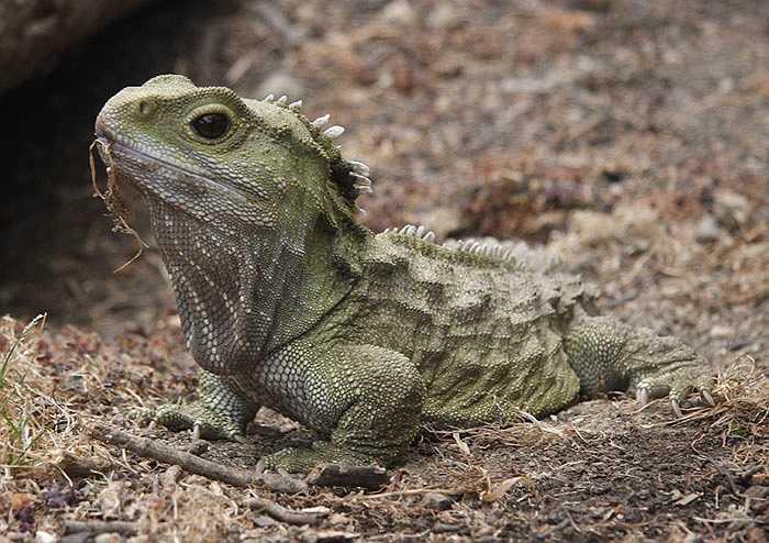 Thằn lằn Tuataras là những thành viên còn sống sót duy nhất của nhóm động vật phát triển mạnh mẽ 200 triệu năm trước, chúng là những con khủng long sống. Chúng cũng là một trong những loài vật có xương sống có tuổi thọ cao nhất, từ 100 đến 200 năm.