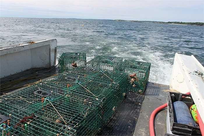 Những chiếc lồng bẫy tôm được thả xuống biển sẽ được vớt lên vào ngày hôm sau với đầy tôm cá.