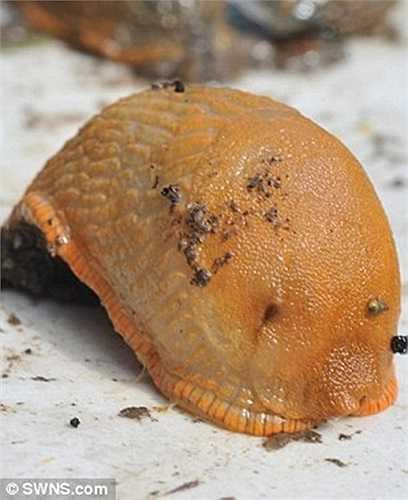 Nhiều người cho rằng, loài sên (tên khoa học là Arion vulgaris) có nguồn gốc từ Tây Ban Nha, xuất hiện phổ biến ở Bắc Âu và vào Anh qua các loại rau nhập khẩu như rau diếp và xà lách. Ảnh: SWNS