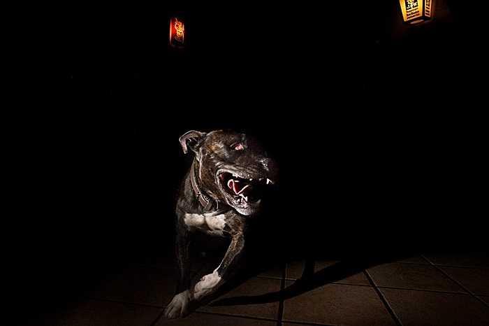 Chú chó giống pitbull của một người chủ theo chủ nghĩa cực hữu