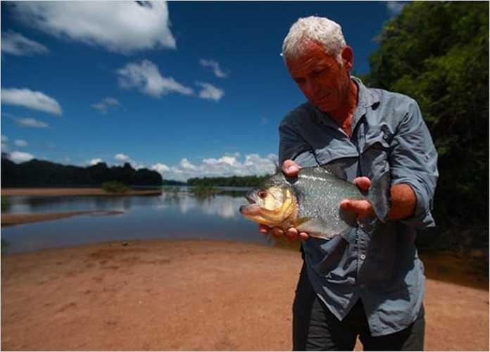 Bên bờ sông Courantyne, Wade thu phục con cá Piranha bụng đỏ, loài cá ăn thịt hung dữ nhất thế giới ở Nam Mỹ