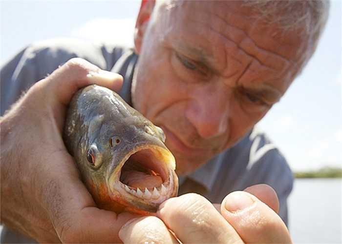 Hàm răng sắc nhọn của loài cá hổ hung dữ