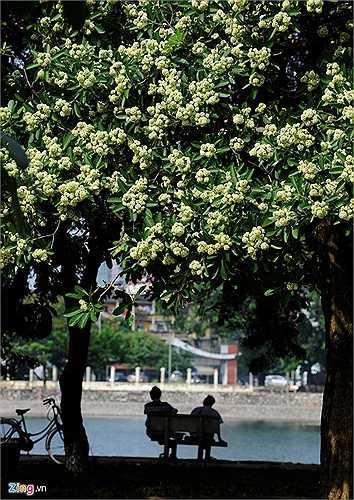 Hoa sữa, một đặc trưng khác cho phố phường thủ đô. Các tuyến phố như Nguyễn Du, Quang Trung, hồ Thành Công... vào mùa thu hoa trổ trắng trên những cành cao.
