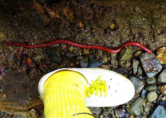 Chúng được người dân địa phương gọi là đỉa đỏ Kinabalu vì loài này có màu đỏ hoặc cam rất đặc trưng, khác hẳn với họ hàng của chúng.