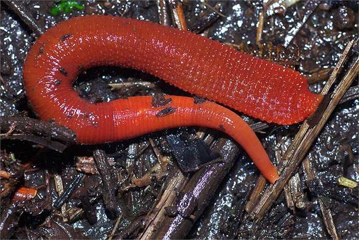 Đỉa Kinabalu sinh tồn bằng cách ăn loài giun đất xanh khổng lồ.